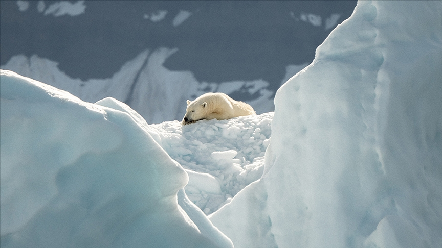 Buzullardaki erime kutup ayılarının genetik çeşitliliğini kaybetmesine yol açıyor
