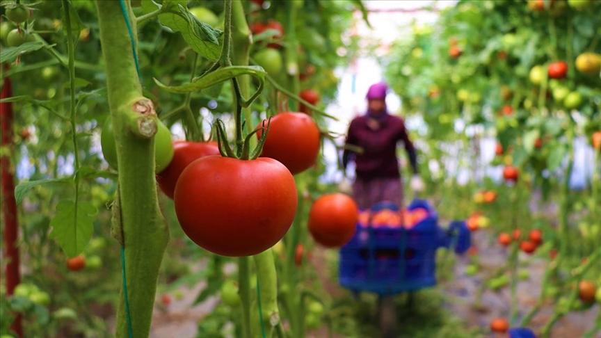 Dayanıklılığı ve lezzetiyle öne çıkan Söğüt domatesine Balkanlar'dan yoğun talep